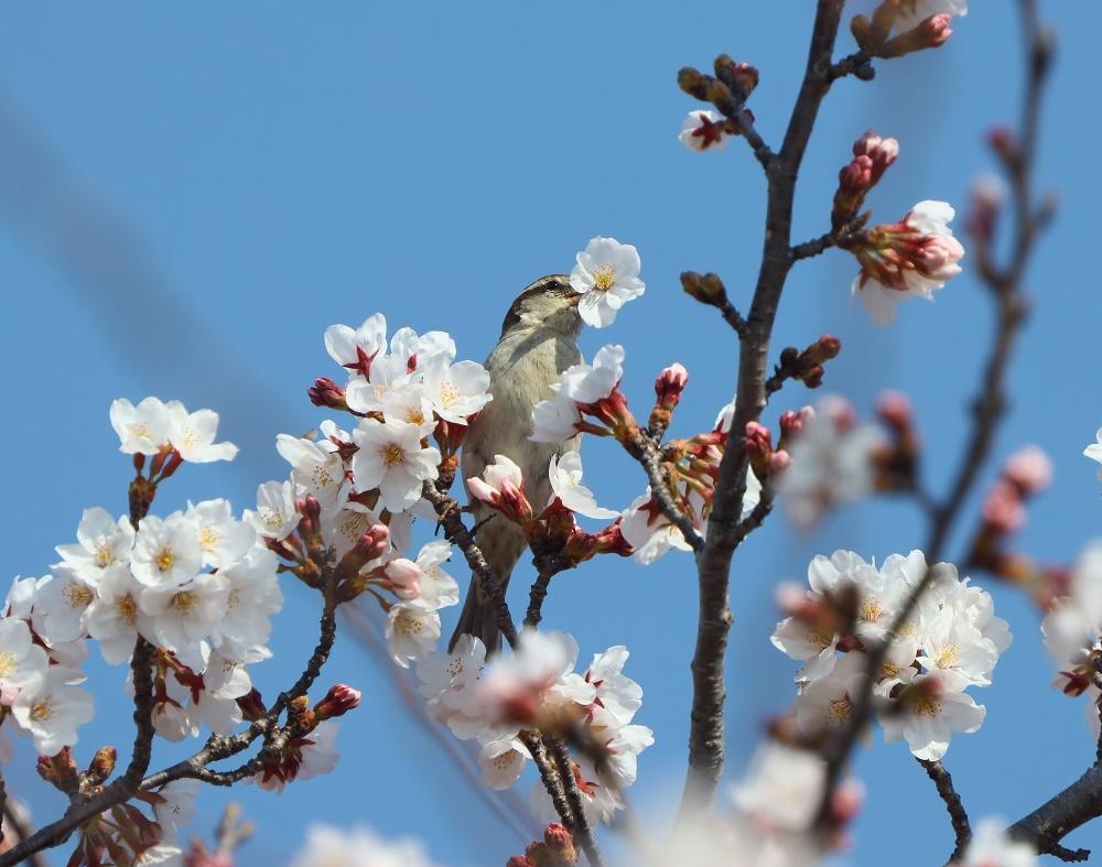 桜の花びら廻してよ、、_f0305401_16334283.jpg