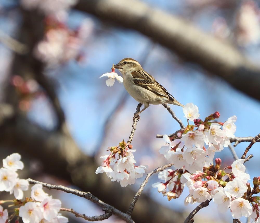 桜の花びら廻してよ、、_f0305401_16334854.jpg