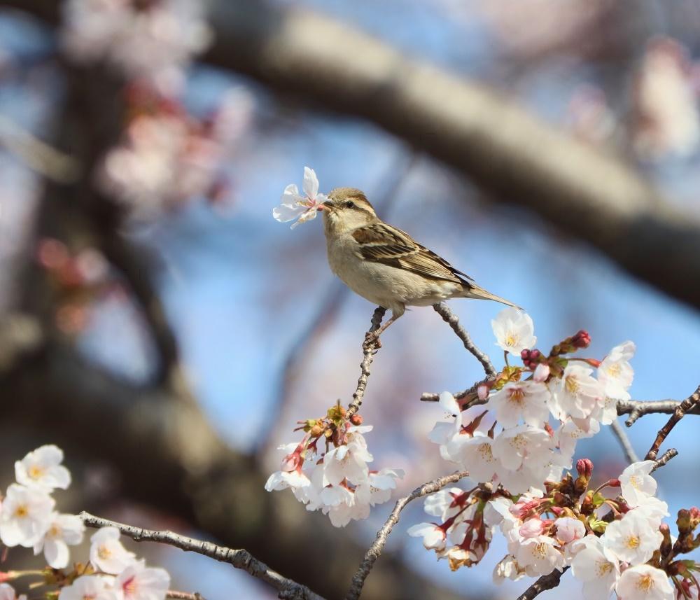 桜の花びら廻してよ、、_f0305401_16335354.jpg