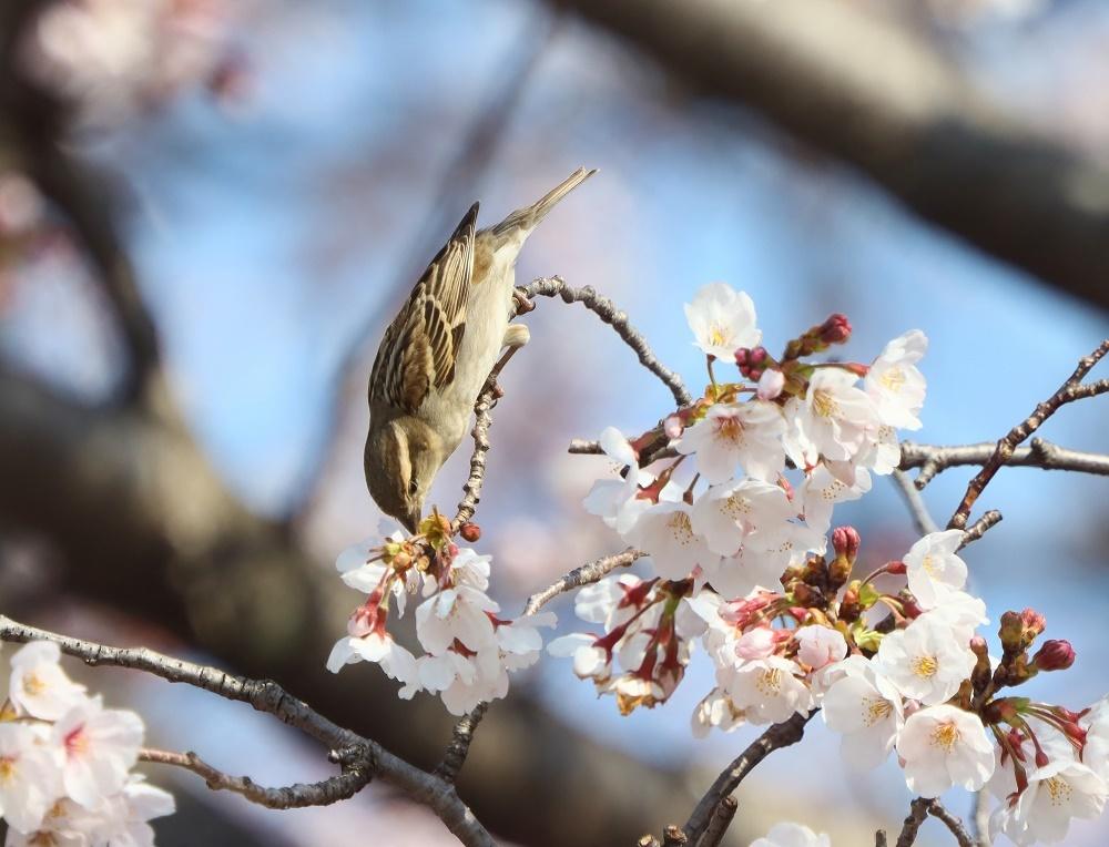 桜の花びら廻してよ、、_f0305401_16335930.jpg