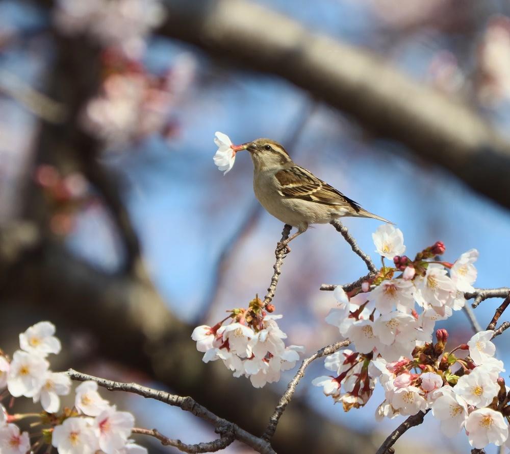 桜の花びら廻してよ、、_f0305401_16340477.jpg