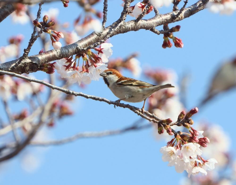 桜の花びら廻してよ、、_f0305401_16340997.jpg