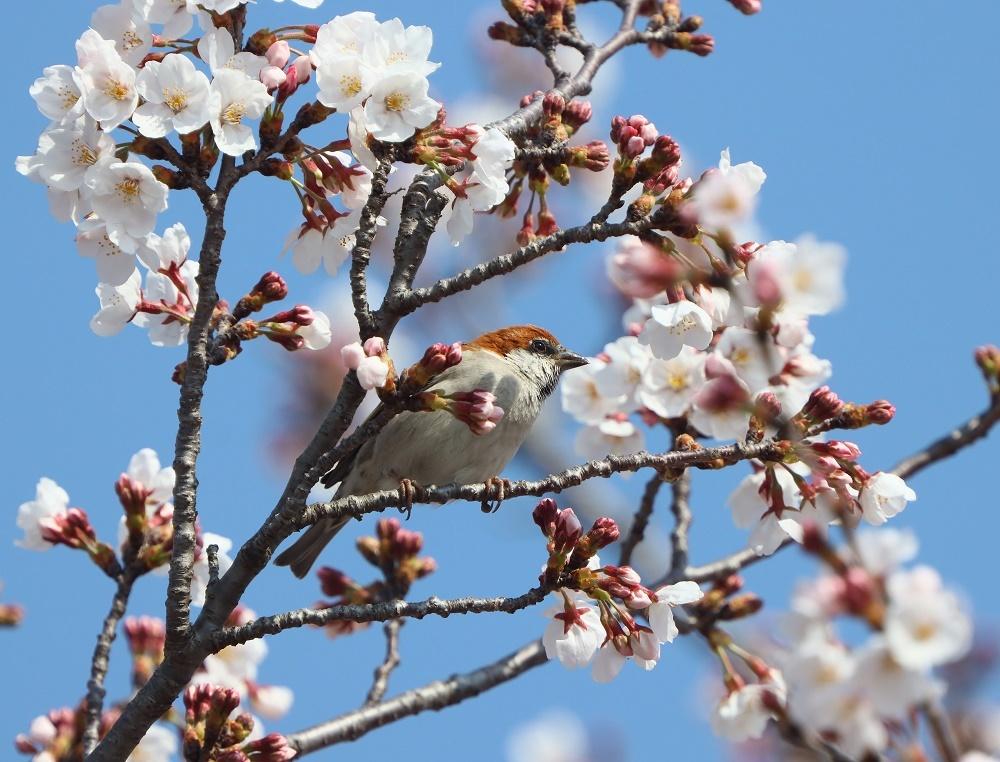 桜の花びら廻してよ、、_f0305401_16341401.jpg