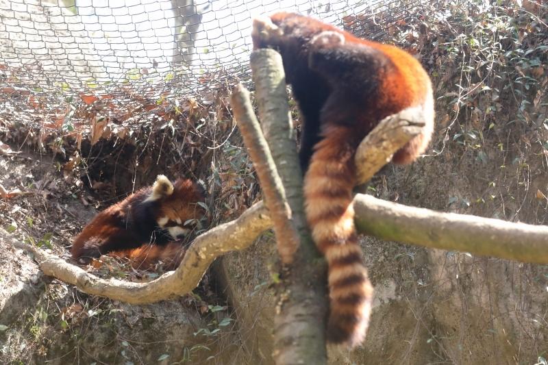 微妙な距離のカップル、レッサーパンダのフランケンと、ひまわり_b0291402_09350675.jpg