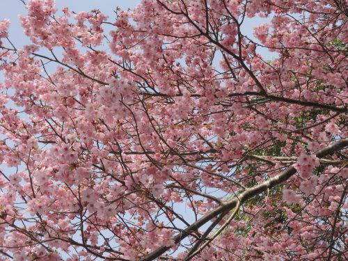 桜 _b0287904_15323379.jpg