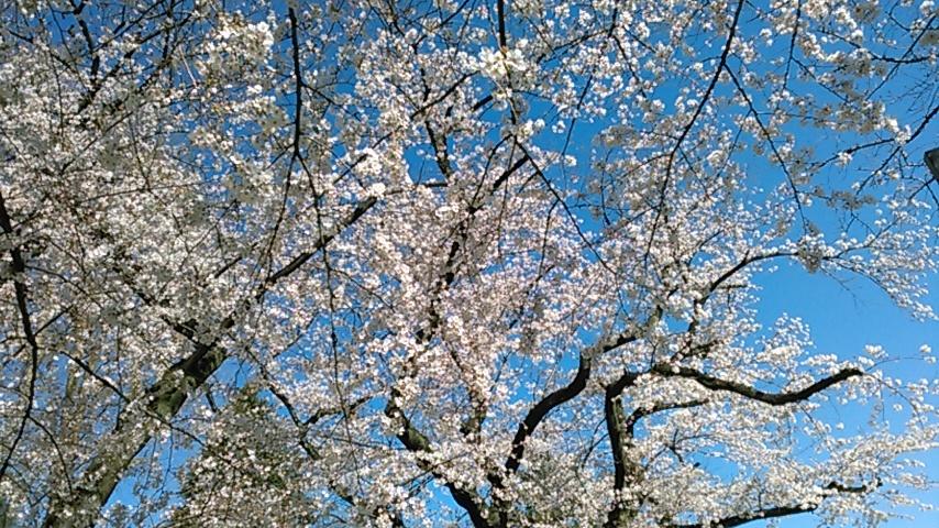 お花見_b0293307_20013477.jpeg