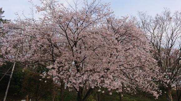 3/26 東京の桜2020Vol.4_b0042308_18174732.jpg