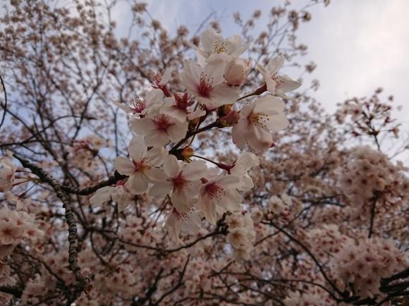 3/26 東京の桜2020Vol.4_b0042308_18174806.jpg