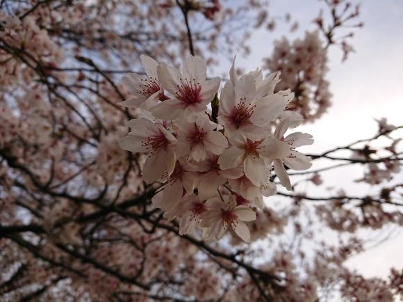 3/26 東京の桜2020Vol.4_b0042308_18174914.jpg