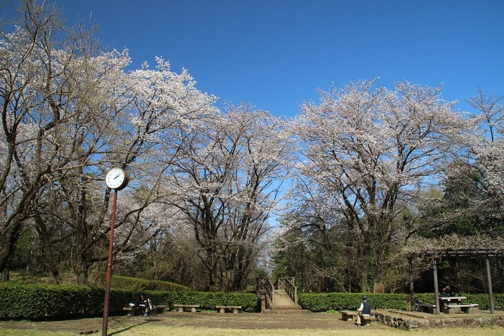 片倉城址公園の桜_b0356108_15572222.jpg