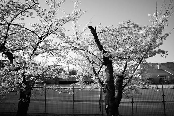 2020.03.26 近所の桜_a0390712_10071634.jpg
