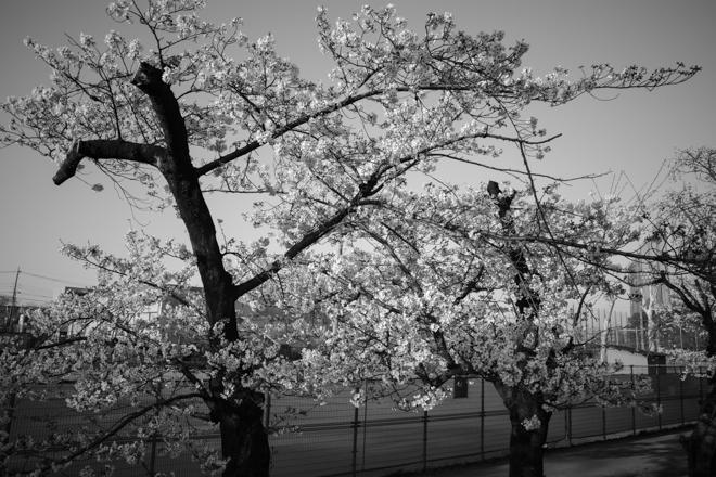2020.03.26 近所の桜_a0390712_10073757.jpg