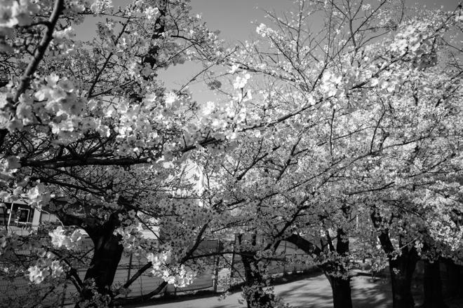 2020.03.26 近所の桜_a0390712_10083595.jpg