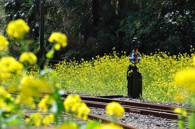 菜の花と小湊鉄道_b0129725_15320091.jpg