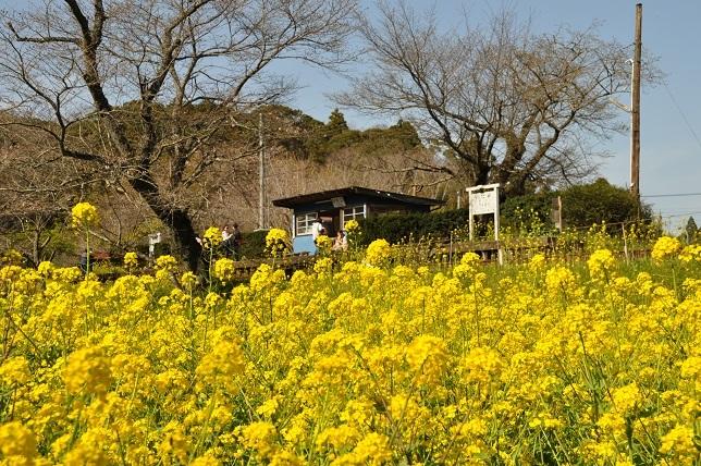 菜の花と小湊鉄道_b0129725_15465921.jpg