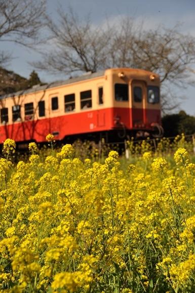 菜の花と小湊鉄道_b0129725_15493849.jpg