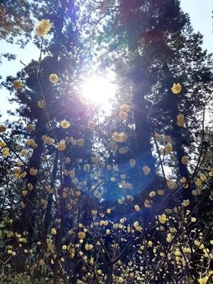 2020 お花見 その5 ミツマタ群生地_f0129726_18004345.jpg