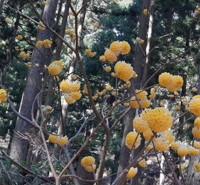 2020 お花見 その5 ミツマタ群生地_f0129726_18205313.jpg