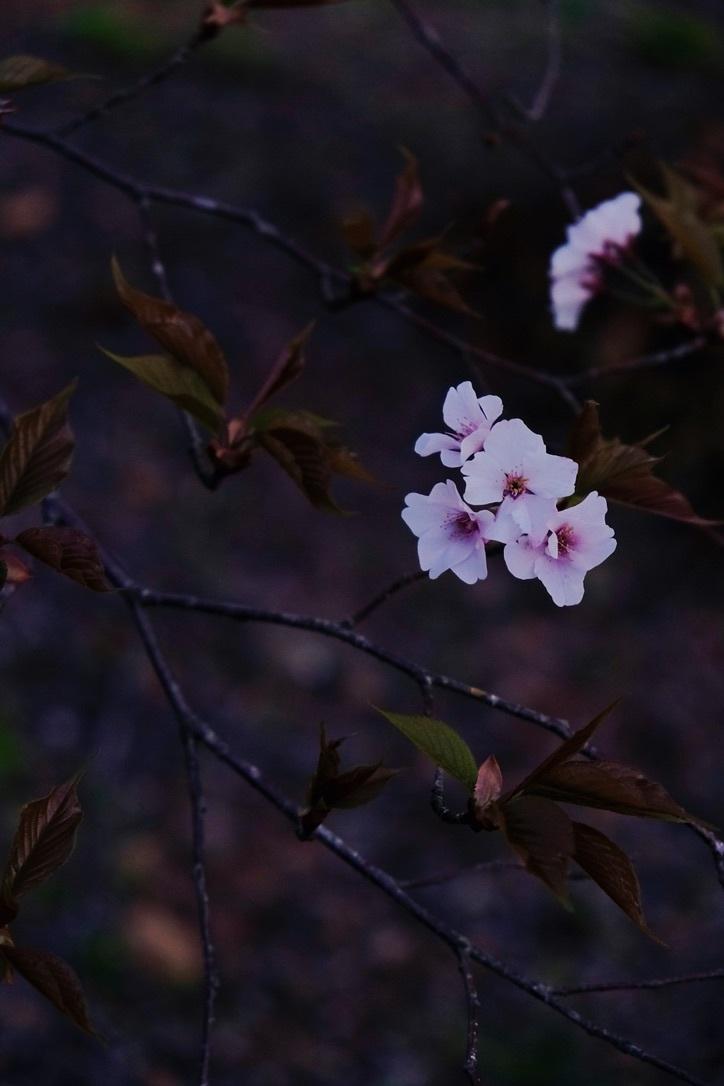 山桜_f0315034_12591478.jpeg