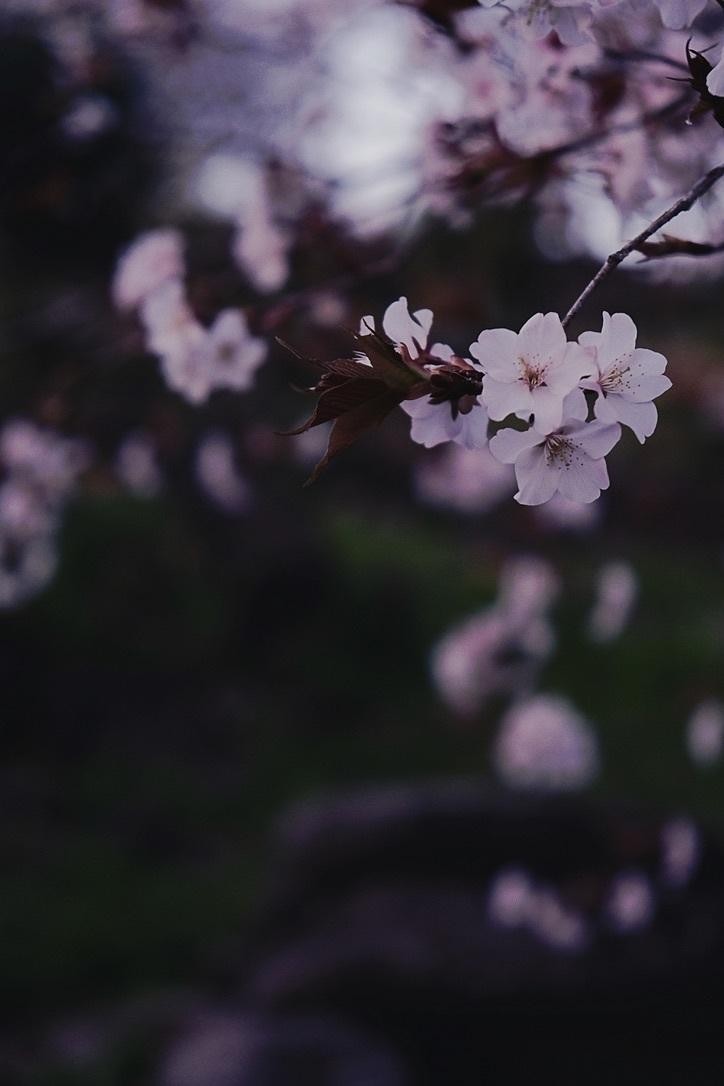 山桜_f0315034_12591835.jpeg