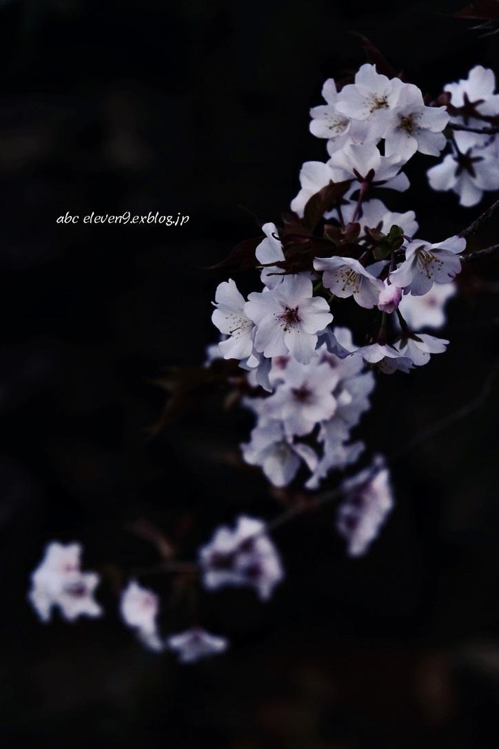 山桜_f0315034_13085531.jpeg