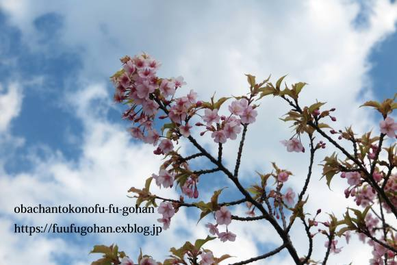 ポークチャップ弁当&昨夜の春御膳&桜_c0326245_11524861.jpg