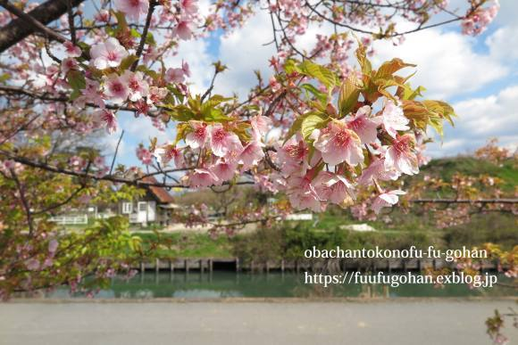 ポークチャップ弁当&昨夜の春御膳&桜_c0326245_11530124.jpg