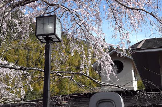 糸桜ぱっと開いちゃいました_b0145257_10093578.jpg
