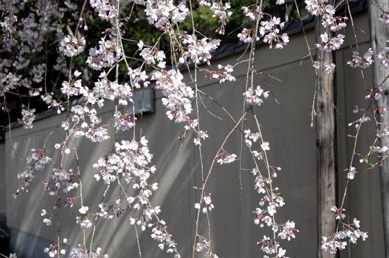 糸桜ぱっと開いちゃいました_b0145257_10093903.jpg