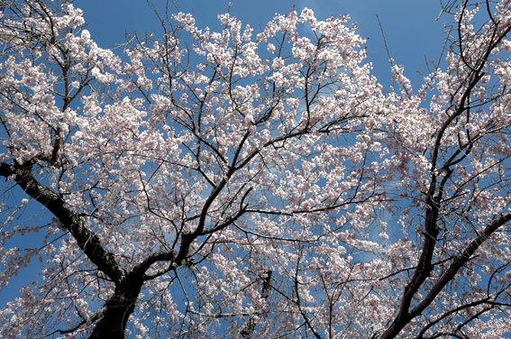 糸桜ぱっと開いちゃいました_b0145257_10094291.jpg