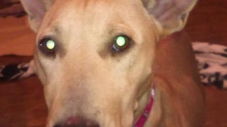しわしわーずの母犬くるみのお預かりさん、緊急募集しています!_c0372561_01092578.jpg