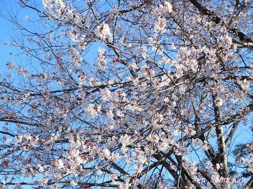 賀茂川の桜  2020年3月25日_a0164068_20200312.jpg
