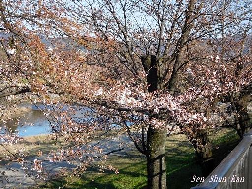 賀茂川の桜  2020年3月25日_a0164068_20200344.jpg