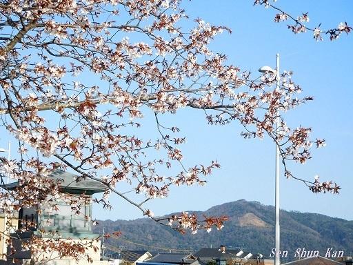 賀茂川の桜  2020年3月25日_a0164068_20200391.jpg