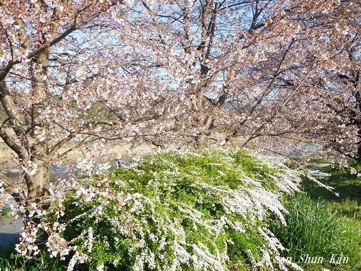 賀茂川の桜  2020年3月25日_a0164068_20200404.jpg