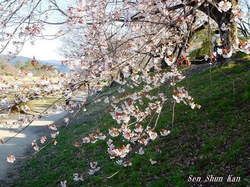 賀茂川の桜  2020年3月25日_a0164068_20200410.jpg