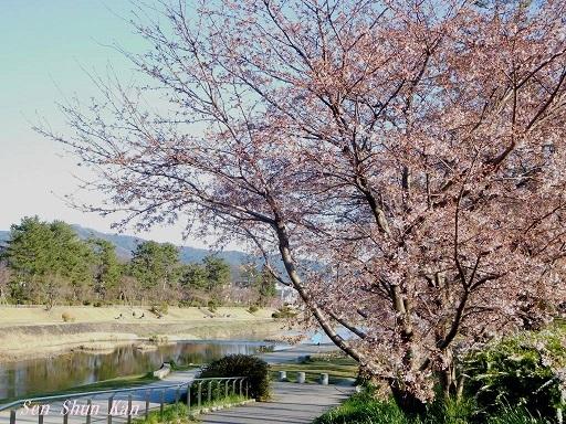 賀茂川の桜  2020年3月25日_a0164068_20200449.jpg