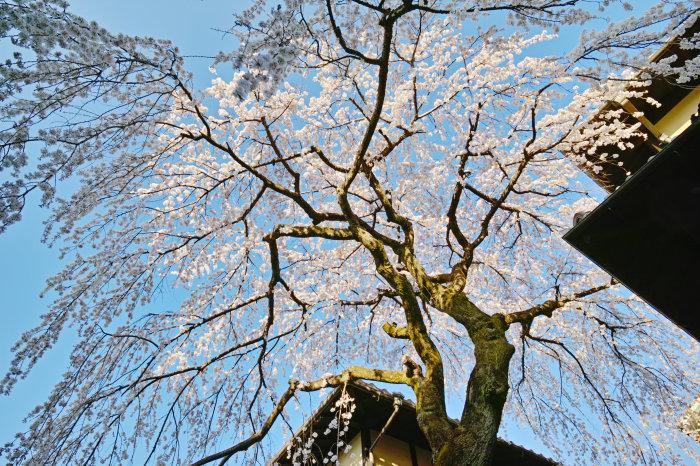 桜 2020_f0021869_00130141.jpg