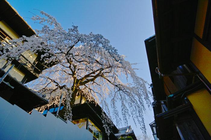 桜 2020_f0021869_00130165.jpg