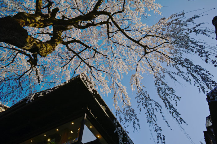 桜 2020_f0021869_00130284.jpg