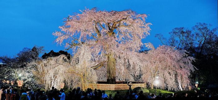 桜 2020_f0021869_22543986.jpg