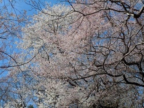 エドヒガン咲きました 見事です _b0102572_22585362.jpg