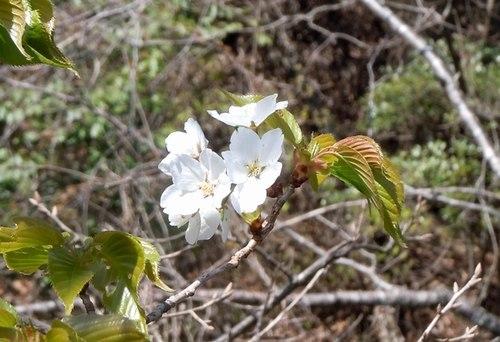 エドヒガン咲きました 見事です _b0102572_23004071.jpg