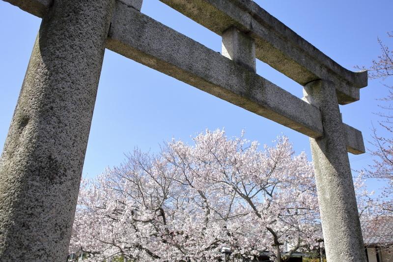 嘉明桜とくノ一_c0196076_08073525.jpg