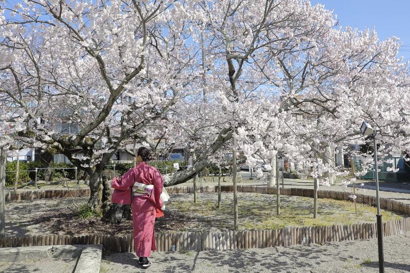 嘉明桜とくノ一_c0196076_08075191.jpg