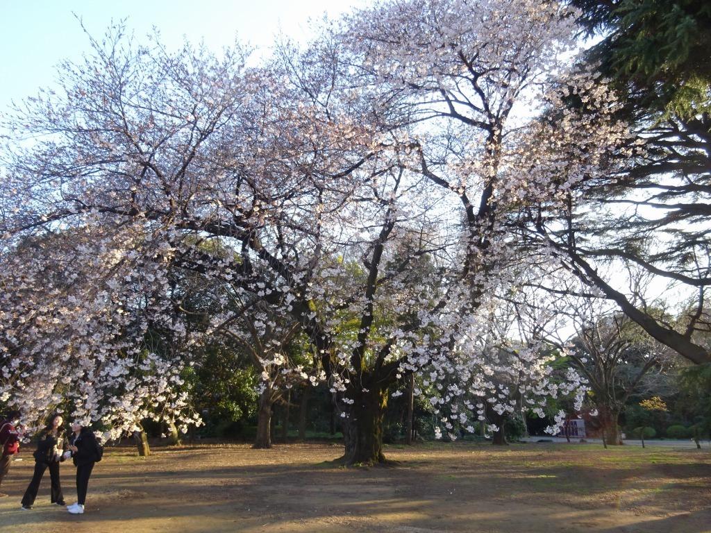 新宿御苑の色んな種類の桜_d0061678_08331677.jpg