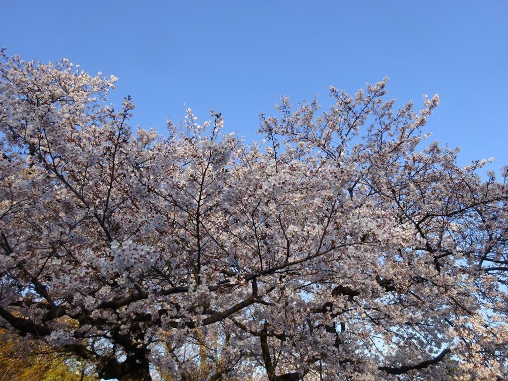 新宿御苑の色んな種類の桜_d0061678_08331744.jpg