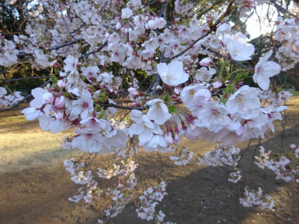 新宿御苑の色んな種類の桜_d0061678_08340477.jpg