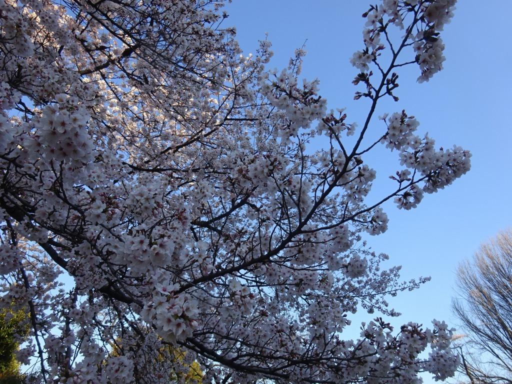 新宿御苑の色んな種類の桜_d0061678_08342642.jpg