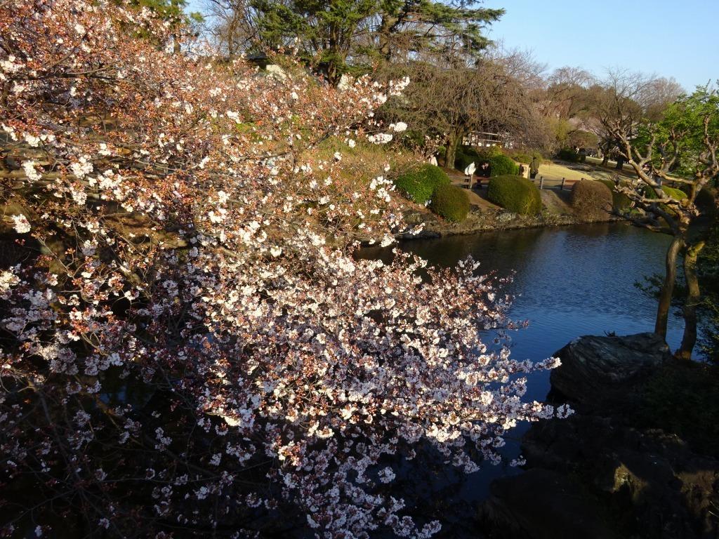 新宿御苑の色んな種類の桜_d0061678_08362557.jpg